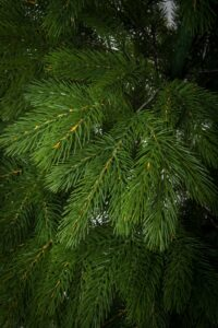 Brad de Craciun cu ace combinate 2D si 3D - ELITE - image Royal-Pine-1-1-200x300 on https://depozituldebrazi.ro